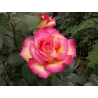 Rosier Roxane®