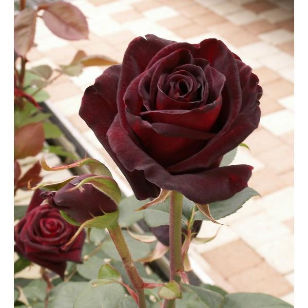 rosier black baccara la bonne graine. Black Bedroom Furniture Sets. Home Design Ideas
