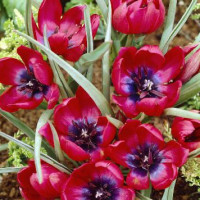 "Tulipe humilus ""Lilliput"""