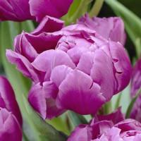 Tulipe Pink Prize