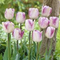 Tulipe Shirley