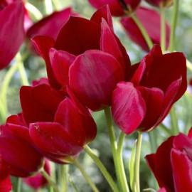 Tulipe Fiery Club
