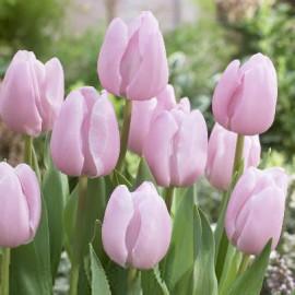Tulipe Pink Diamond