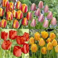 Assortiment de tulipes darwin