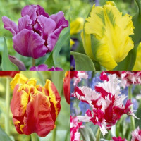 Assortiment de tulipes perroquets