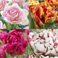 Assortiment de tulipes doubles tardives