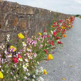 """Prairie fleurie """"Pied de mur"""""""