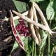 Haricot Sombrero à Grain rouge