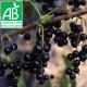 Plant de cassis Andega Bio