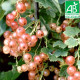 Plant de groseillier Gloire des Sablons Bio