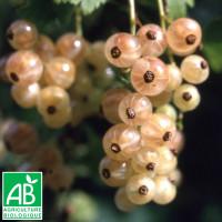 Plant de groseillier Versaillaise Blanche Bio