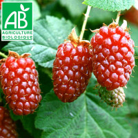 Plant d'hybride de mûres Tayberry Bio