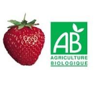 Plant de fraisier Bio Nova Gento (godet)