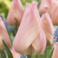 Tulipe Beauty Queen