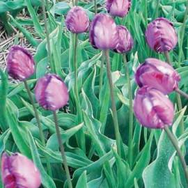 Tulipe Columbine