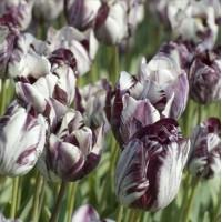 Tulipe Insulinde