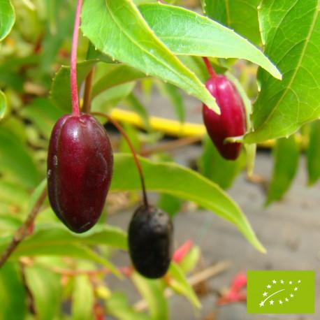 Fuchsia comestible 'Regal'