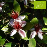 Feijoa ou Goyavier du Brésil 'Apollo' Bio