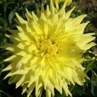 Dahlia Yellow Passion