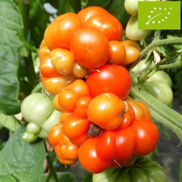 Tomate voyage bio la bonne graine - Quoi planter a cote des tomates ...