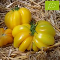 Tomate jaune Vincent Bio