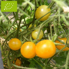 Tomate Cocktail Clémentine Bio