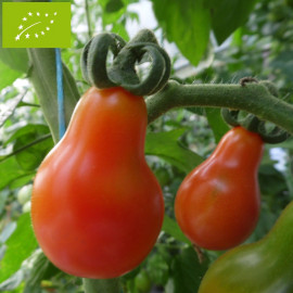 Tomate Poire Rouge Bio