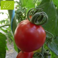 Tomate Cerisette Brin de Muguet Bio