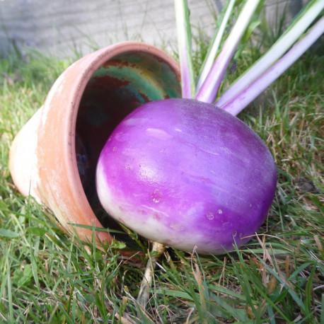 Navet Globe à collet violet