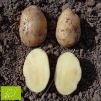 Pomme de terre Nicola BIO