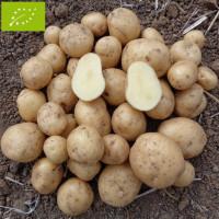 Pomme de terre Bintje BIO