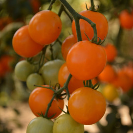 Tomate Figiel