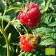 Plant de framboisier Capitou Bio