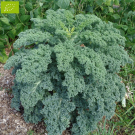 Chou Kale Westlandse Winter Bio