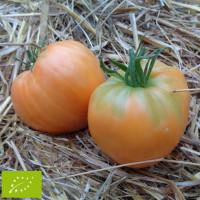 Tomate Verna Bio