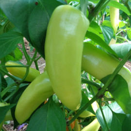 Piment Hungarian Yellow Wax Hot