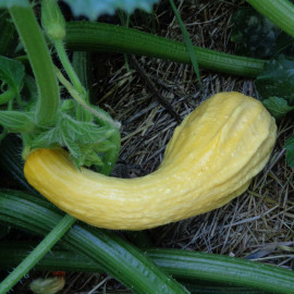 Courge / Courgette Crookneck (Coutors)