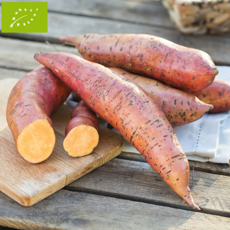 Patate Douce Bio en godet pré-pousssé - ORANGE ALLONGEE