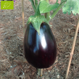 Aubergine Monstrueuse de New York Bio