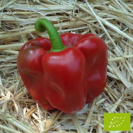 Poivron Quadrato d'Asti rouge Bio