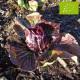 Chicorée rouge de Vérone Bio