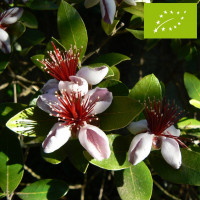 Feijoa ou Goyavier du Brésil 'Mammouth' Bio