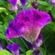Celosia 'Fan Dance Purple'