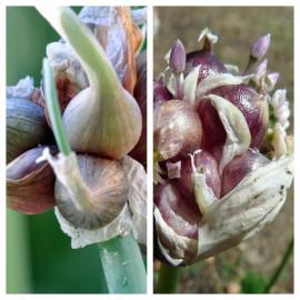 Oignon rocambole - plant en godet