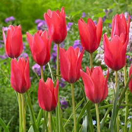 "Tulipe clusiana ""Annika"""