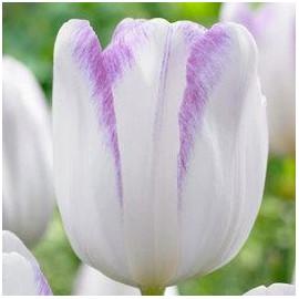 Tulipe Gwen