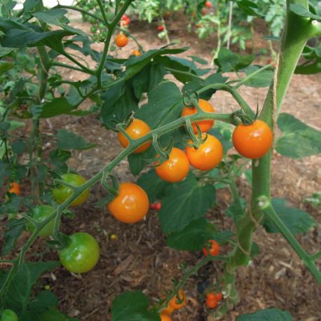 Tomate Honeycomb F1