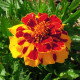 Tagetes (oeillet d'Inde) 'Goldiluxe'
