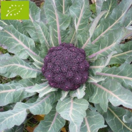 Chou brocoli violet du Cap Bio