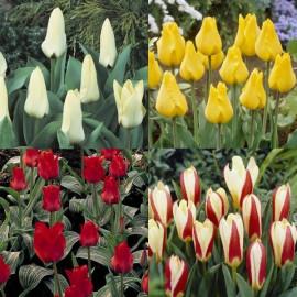 Assortiment de tulipes botaniques